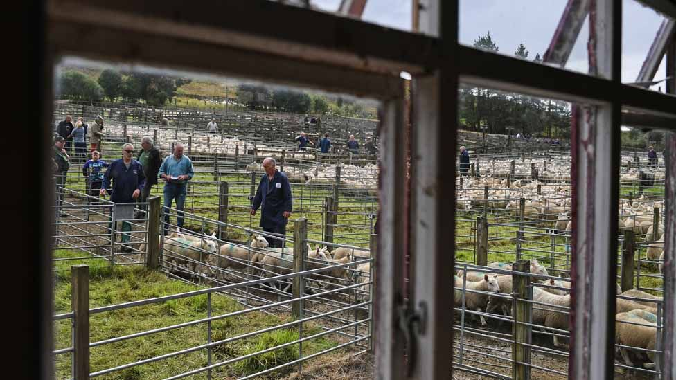 Sheep farmers gather at Lairg auction