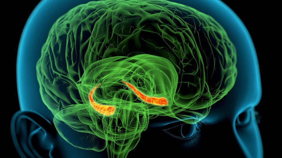 Brain's hippocampus