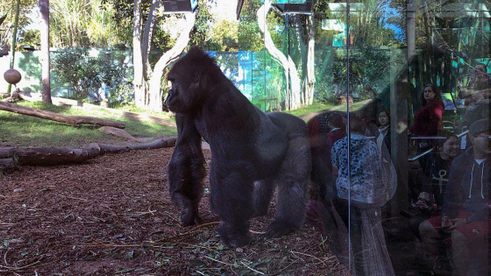 A gorilla at San Diego Zoo