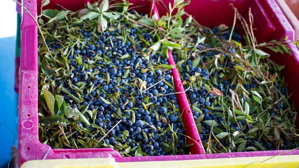 Picked wild blueberries