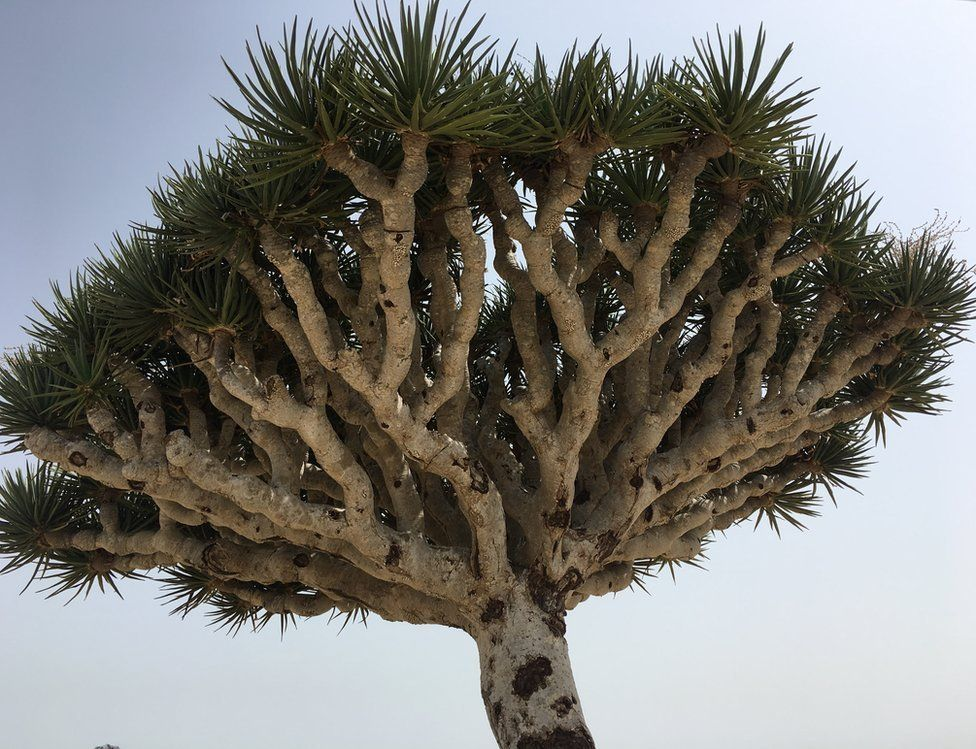 A Dragon's Blood Tree in Socotra