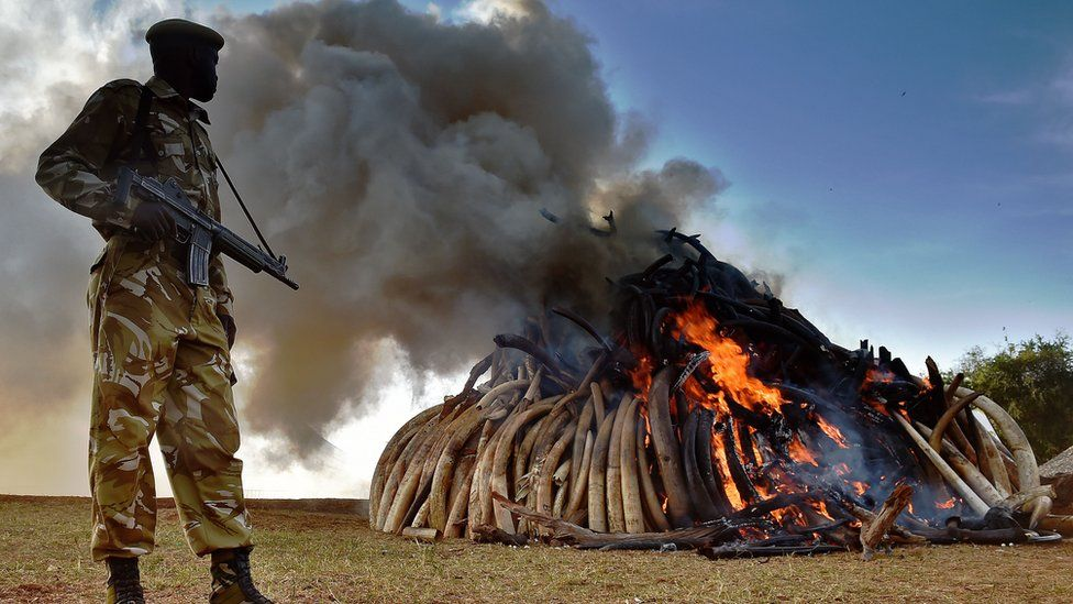 Ivory being burned in Kenya