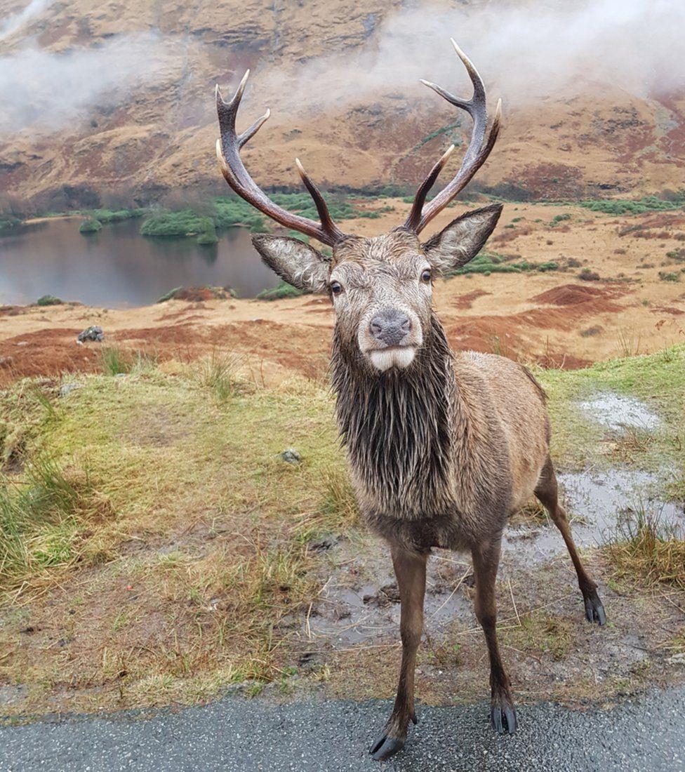 Glen Etive stag