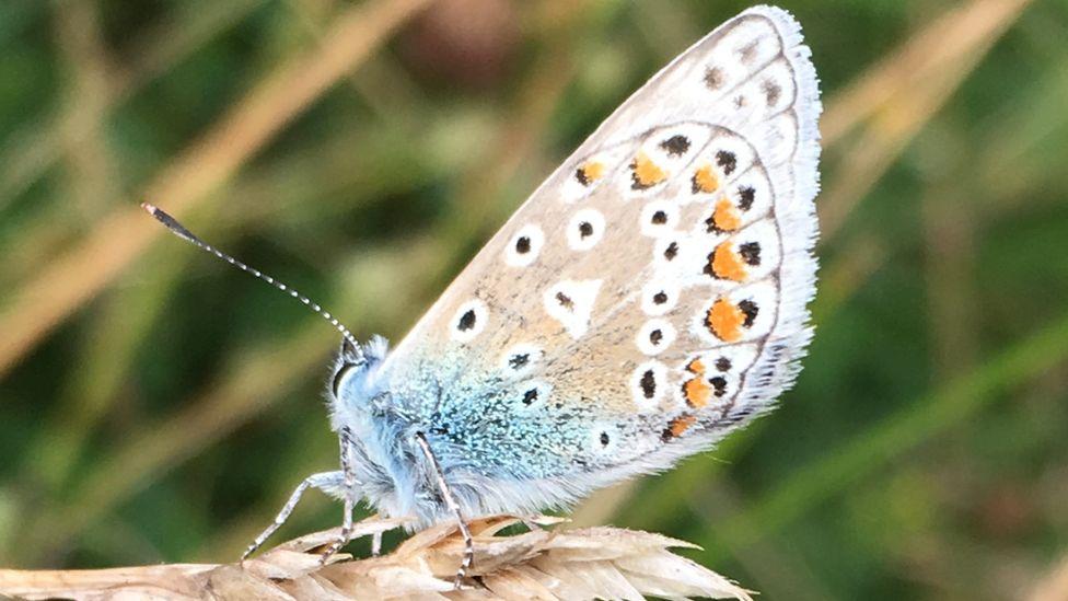 Butterfly near Mewslade Bay, Gower