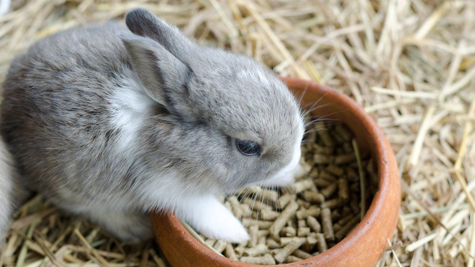 A rabbit eating from a bowl