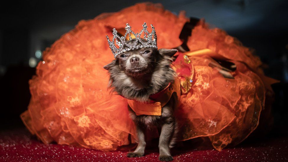 Dog wearing a crown and orange gown