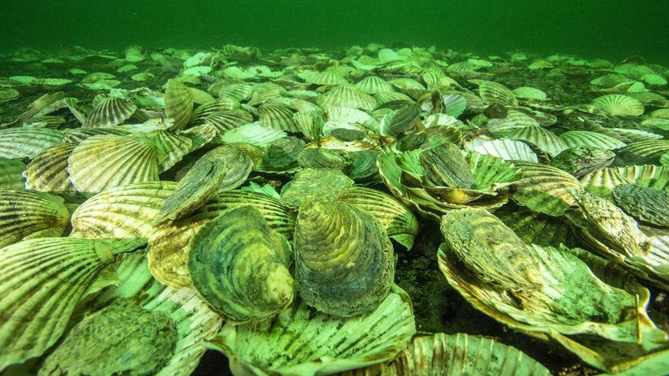 oysters on sea bed