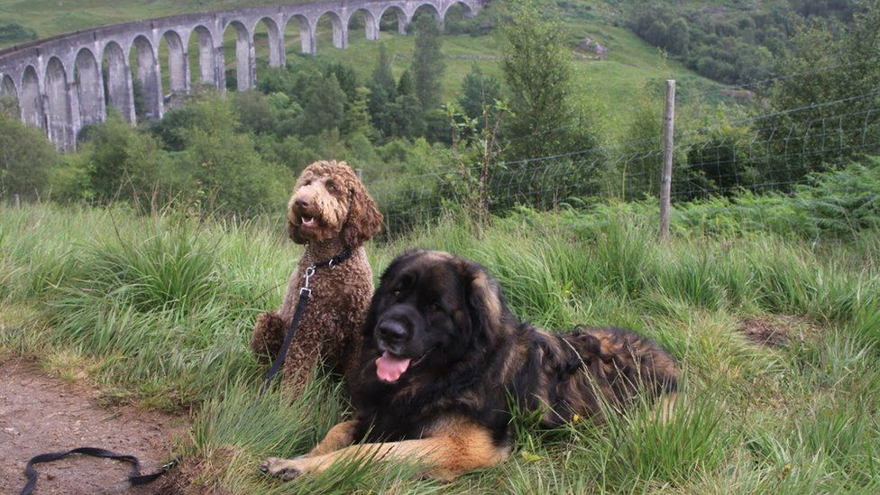 Hagrid and Hermione, a Labradoodle