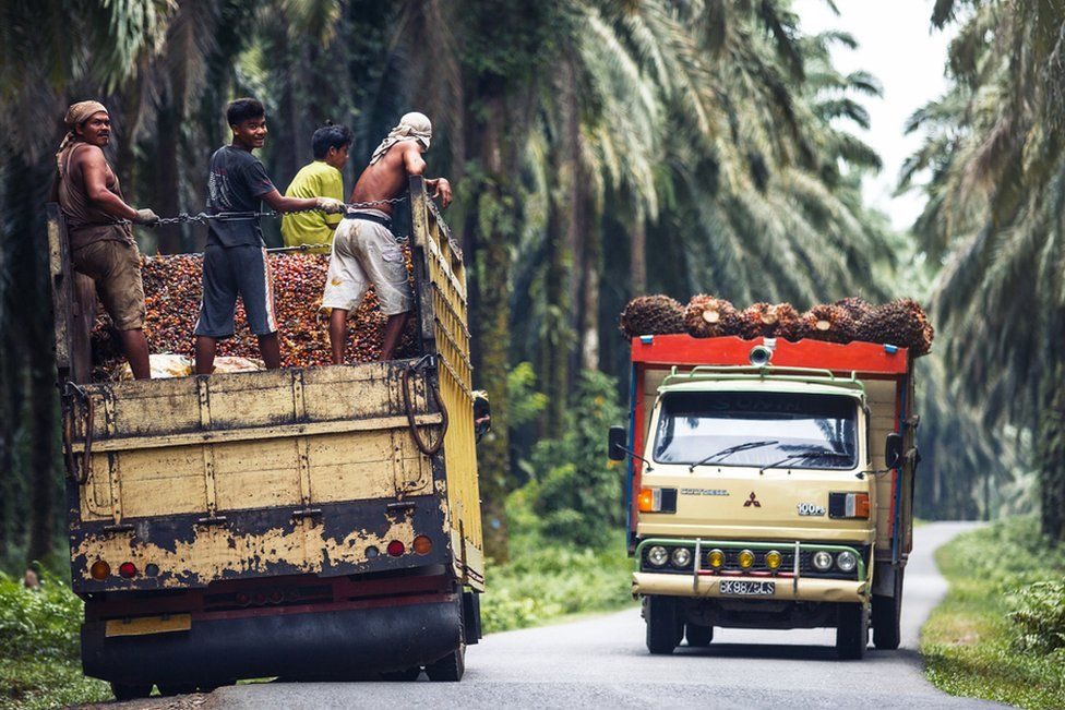 Trucks ferry palm oil fruit to the factories for processing in Sumatra