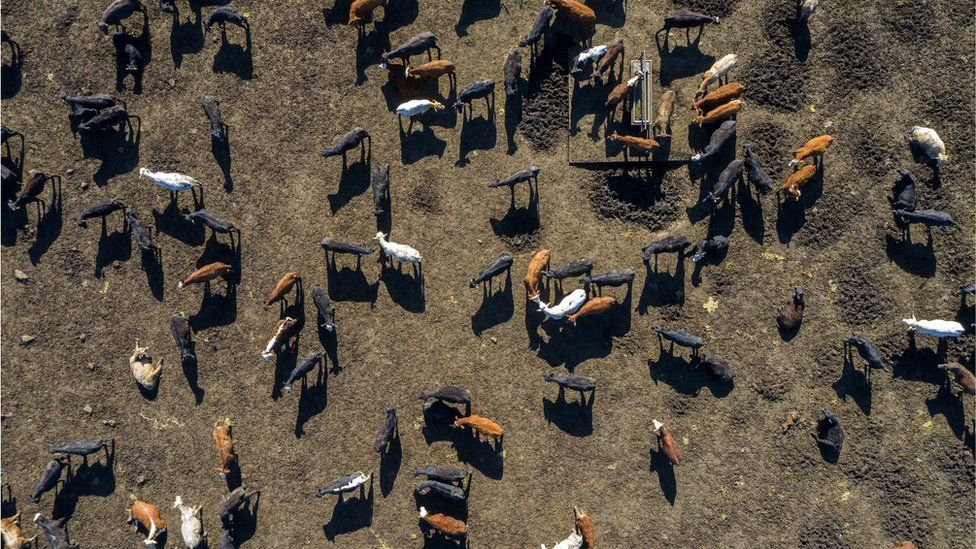 Cows seen from a drone