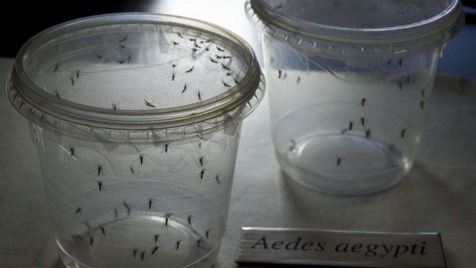 Aedes aegypti mosquitoes are seen in containers at a lab of the Institute of Biomedical Sciences of the Sao Paulo University, on January 8, 2016 in Sao Paulo, Brazil.