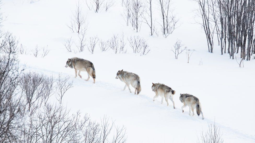 Wolves in Norwegian winter forest