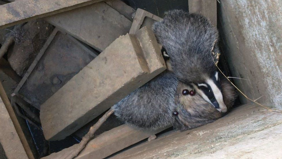 Badgers in a hole
