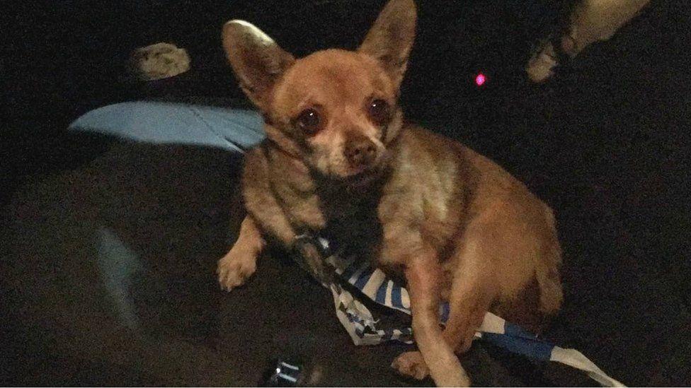 """""""Nigel"""" the Chihuahua"""