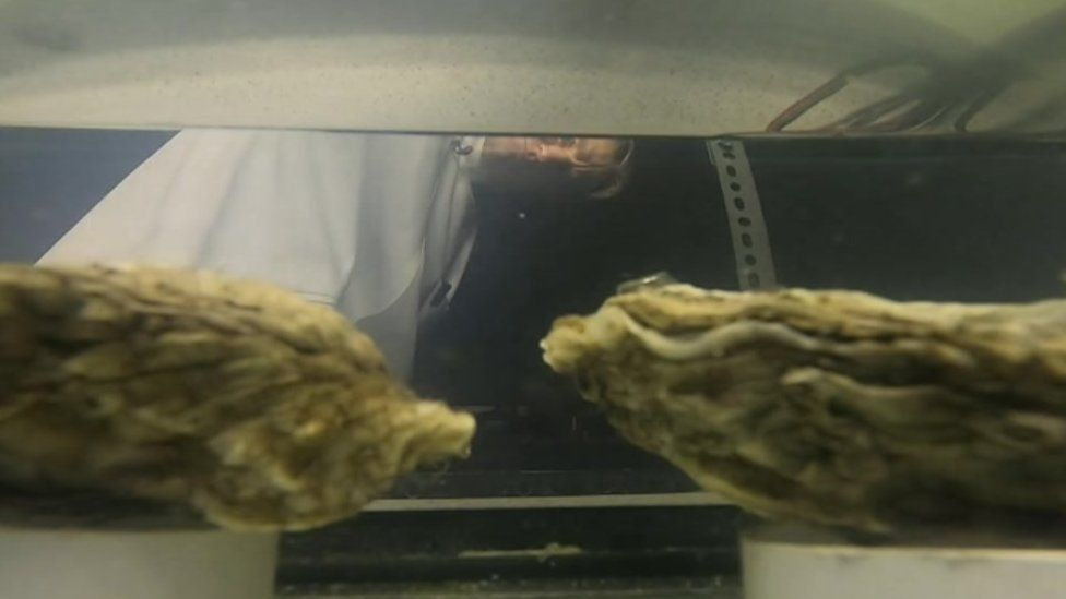Dr Michael Steinke in Essex Univ laboratory with oysters