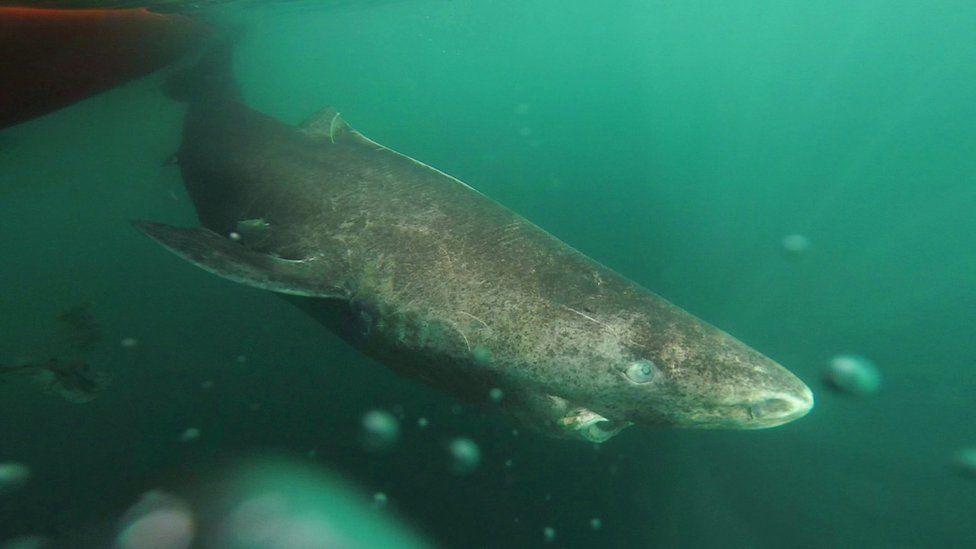 Como cientistas descobriram que tubarão de 400 anos é vertebrado mais velho do mundo