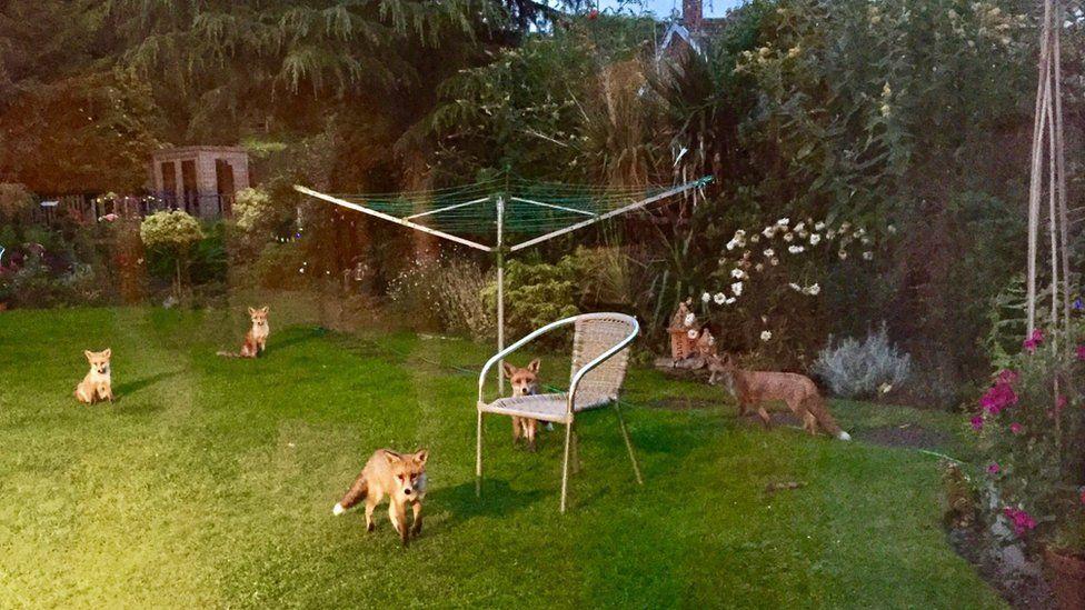 Foxes in garden