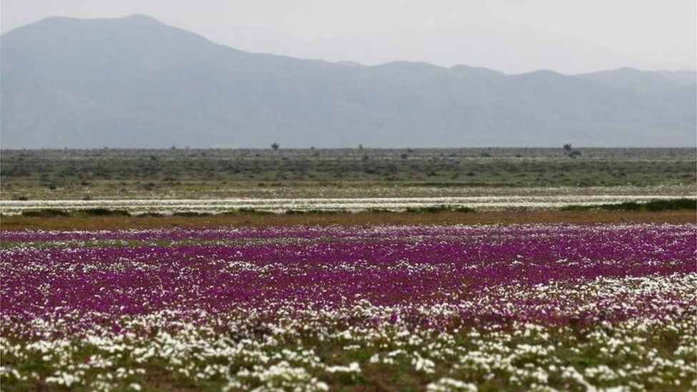 View of flowers in the Atacama Desert, Chile, on 22 August 2017