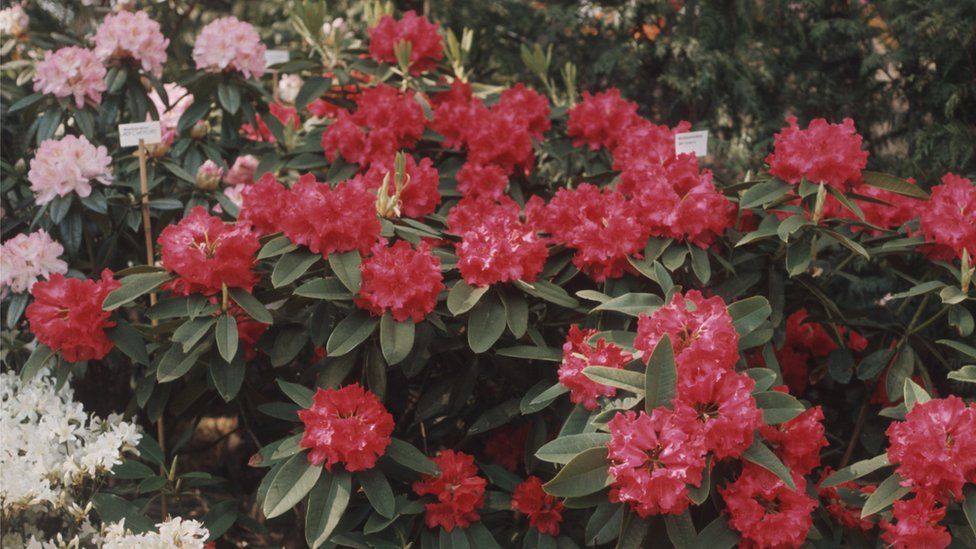 Rhododendron plants in full bloom