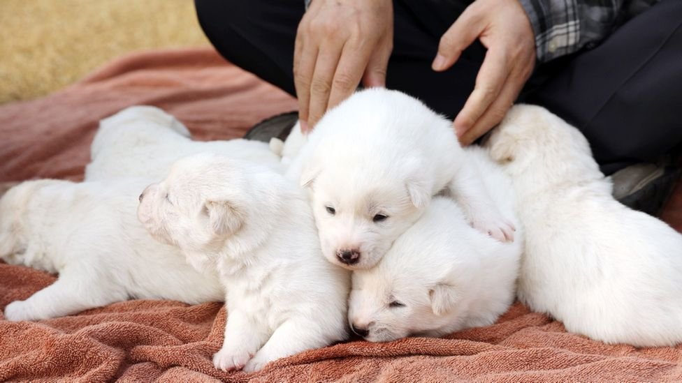 Puppies mothered by a 'peace dog' sent by Kim Jong-un