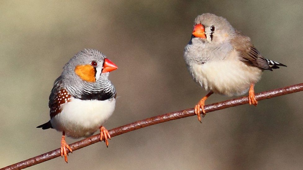 two adult zebra finches