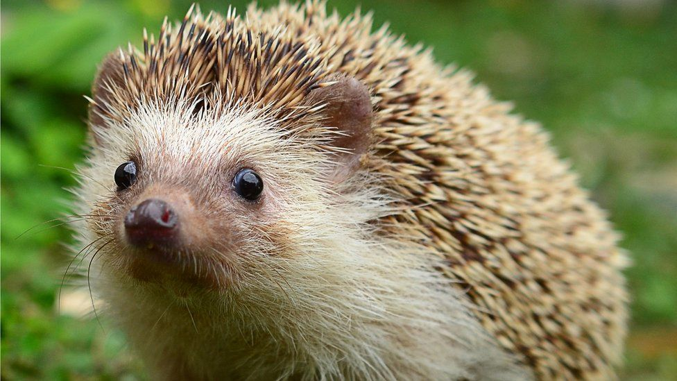 Flight delayed by baby hedgehog on Stornoway Airport runway