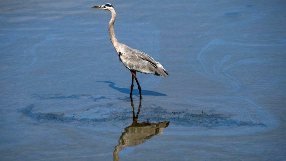 A bird walks through a small oil slick in the Talbert Channel