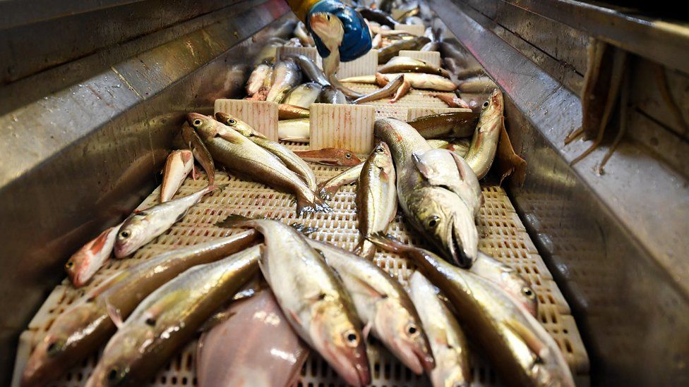 Fish on a conveyer belt on a ship in the North Sea
