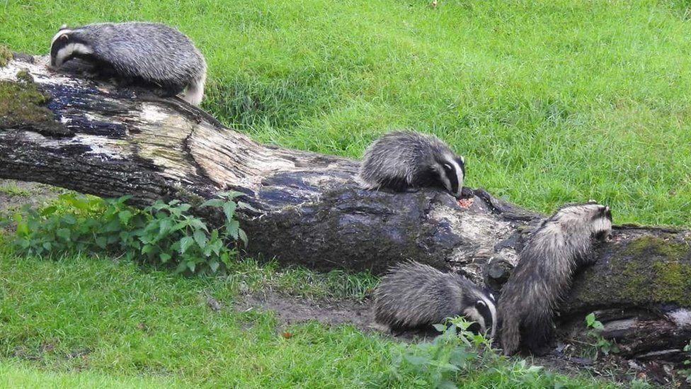 Badger watch at Llandeilo