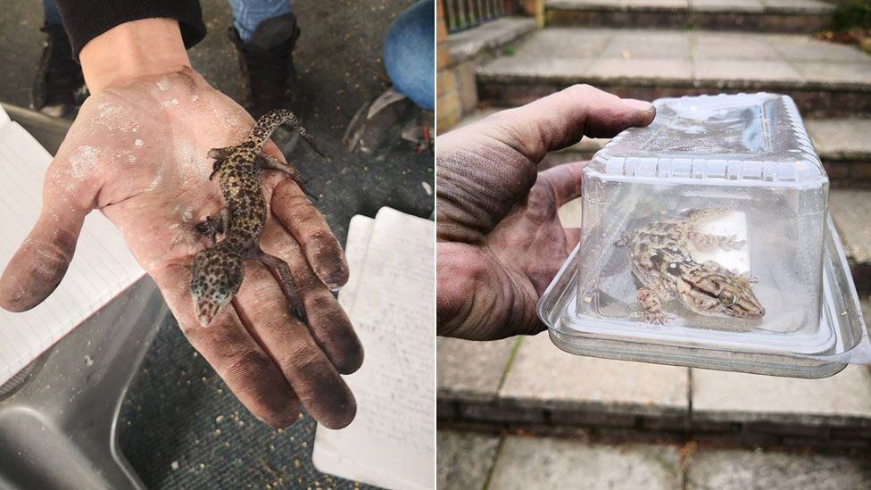 Leopard gecko (left) and white spotted gecko