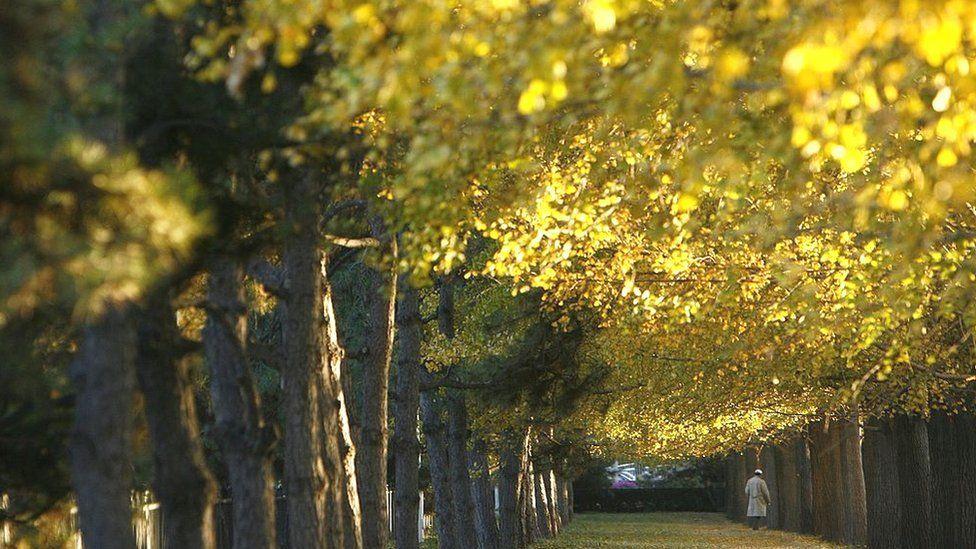 Gingko trees