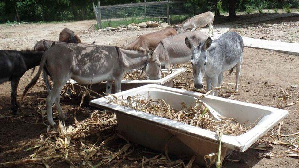 Donkeys eating corn in a bath tub in an open area