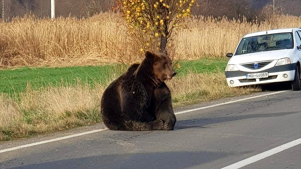 Bear in road