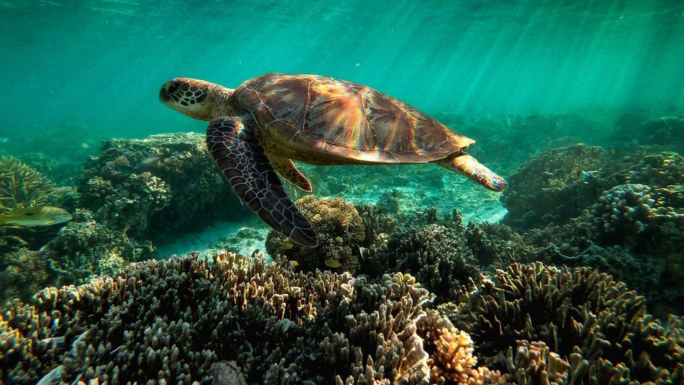 A turtle in the great barrier reef