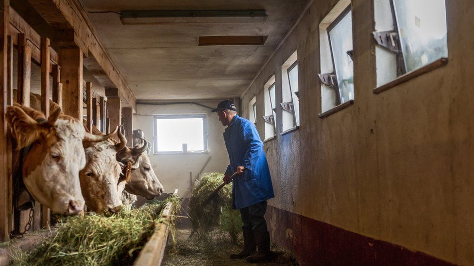A farmer feeding cows