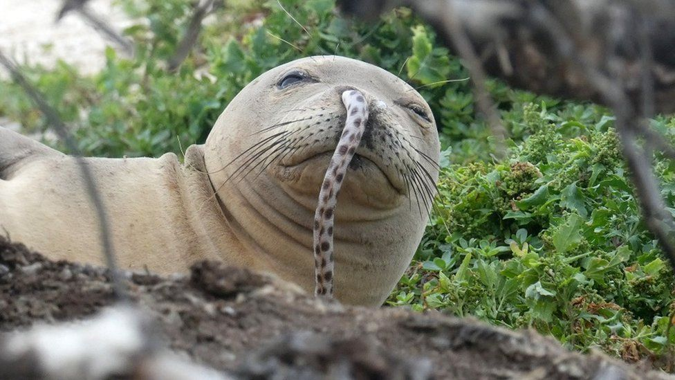 Endangered Seal With Eel Up Its Nose Remains A Mystery Bbc News