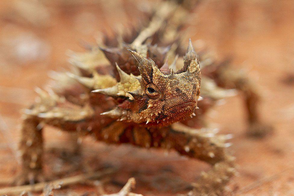 The thorny devil, Australia