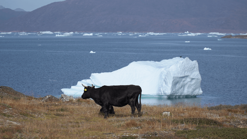 Warmer conditions allow cattle farming in Greenland