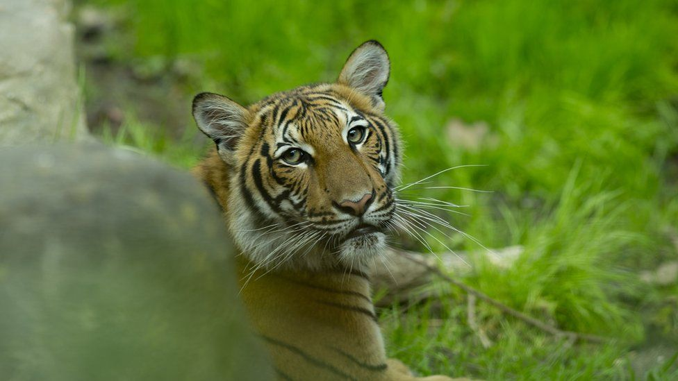 A Malayan tiger cub in its enclosure at the Bronx Zoo on 27 April 2017