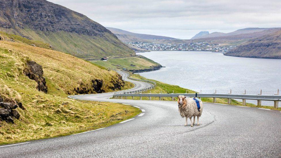 A Faroes Sheep View sheep