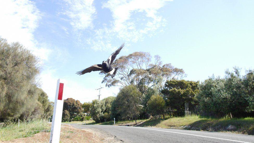 Magpie attack: Australian cyclist dies while fleeing swooping bird