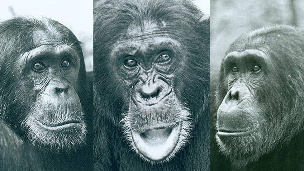 Tres chimpancés del Parque Nacional de Gombe.