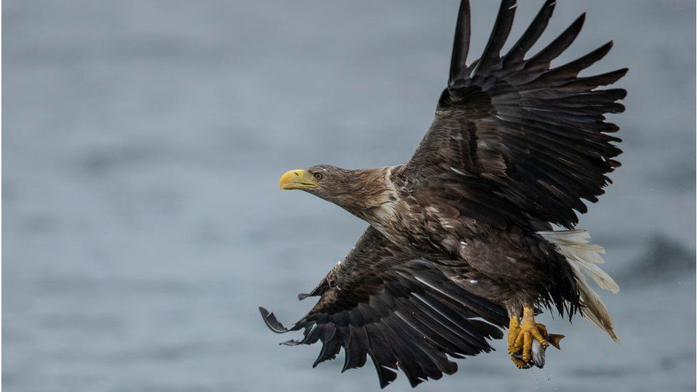 A WA White Tailed Sea Eagle comes in to catch a fish thrown overboard from a wildlife viewing boat on June 9, 2019 on the Isle of Mull, Scotlandhite Tailed Sea Eagle comes in to catch a fish thrown overboard from a wildlife viewing boat on June 9, 2019 on the Isle of Mull, Scotland