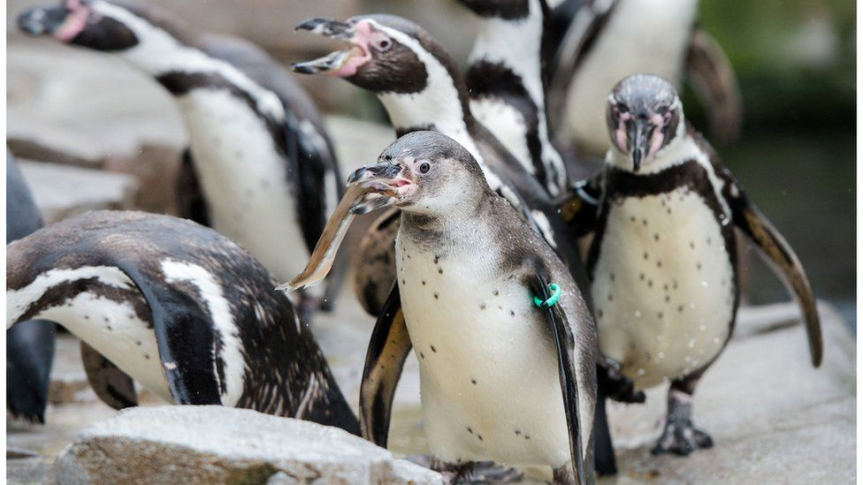 Humboldt penguins stand in their enclosure of the Hagenbeck Tierpark zoo in Hamburg, northern Germany, on May 3, 2016.