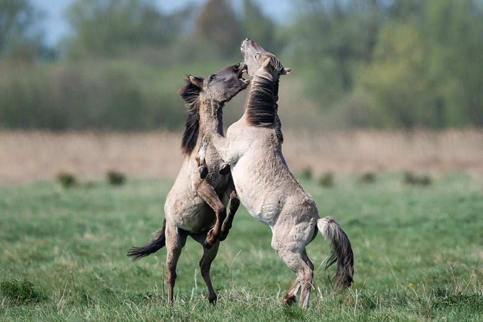 Konik ponies fight for dominance during the foaling season