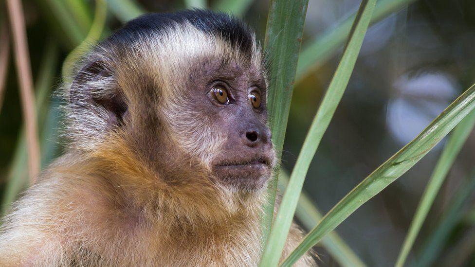 'Se matarem macacos, mosquitos vão atrás de sangue humano': como massacre de primatas é tiro no pé contra febre amarela
