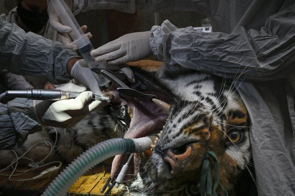 A large tiger is sedated as people perform dental surgery on it