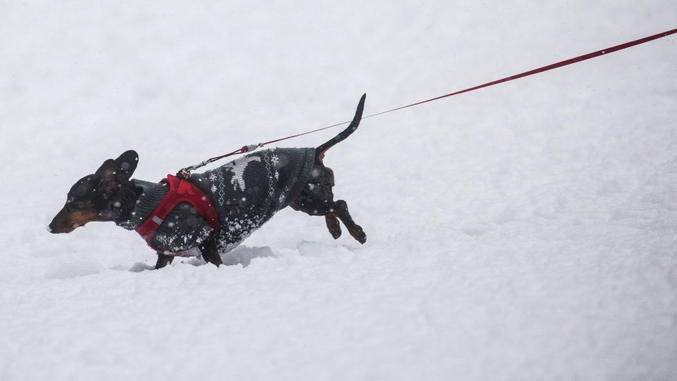 A dachshund wearing a coat walks through the snow on January 10, 2017 in Wiesbaden, western Germany