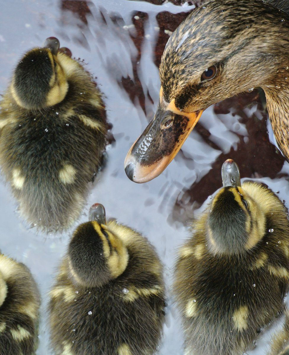 Ducklings with a duck in water