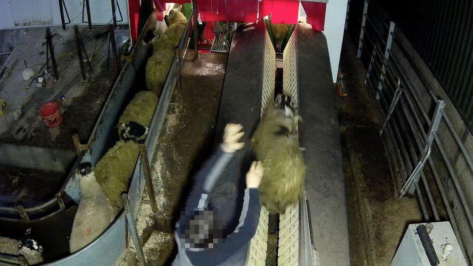 Sheep in slaughterhouse
